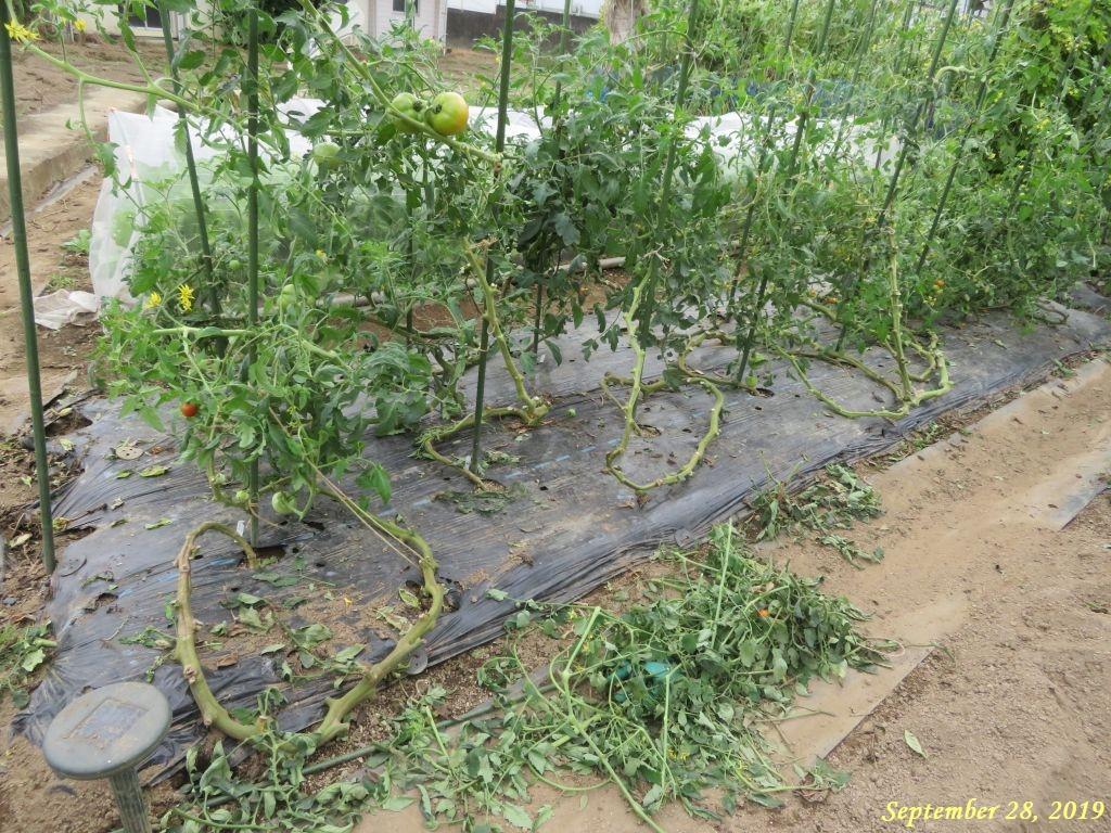 画像6(トマト蔓の整理)