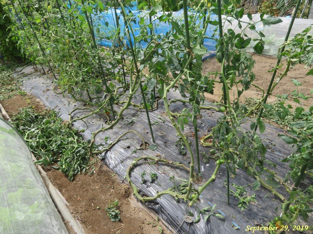 画像7(トマト蔓の整理)