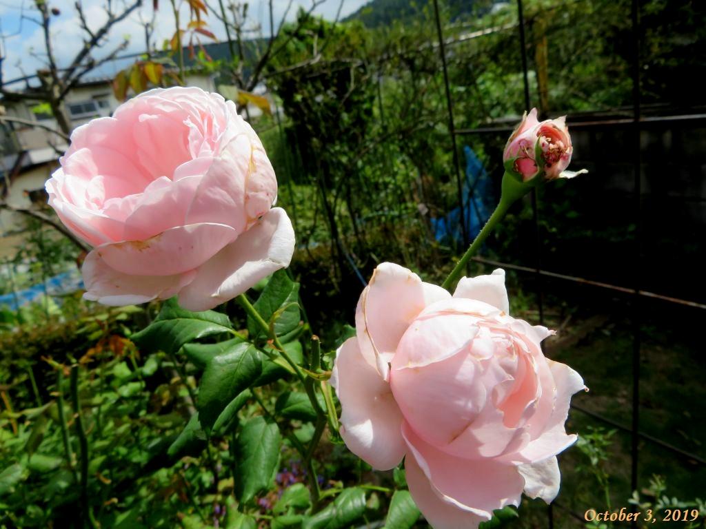 画像5(ピンクのバラ)