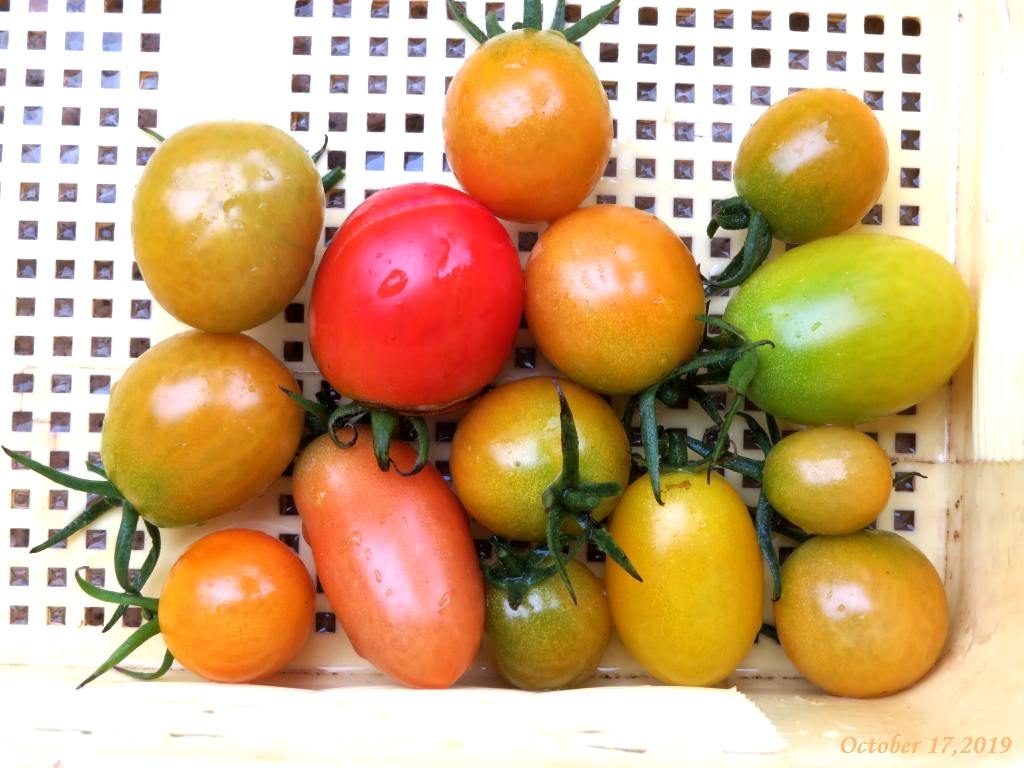 画像10(収穫したトマト)
