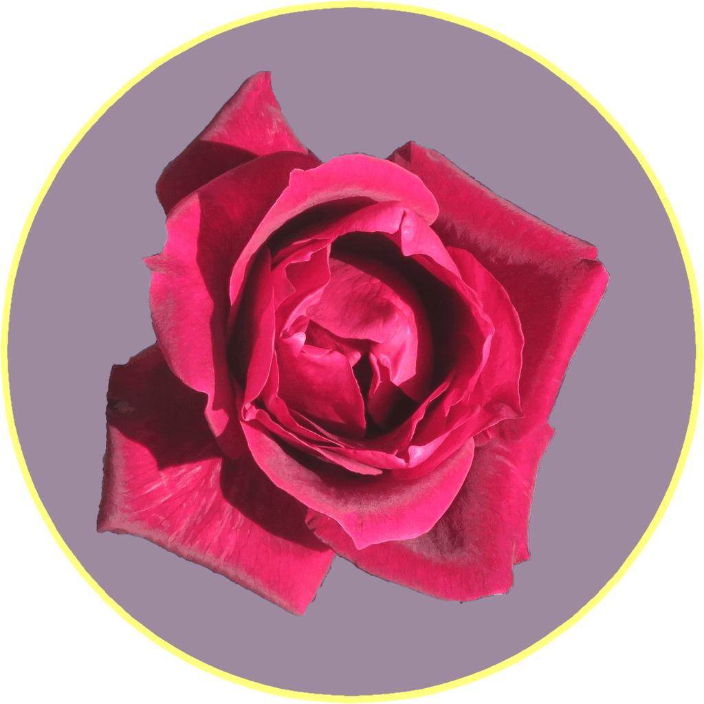 画像3(バラ「パパメイアン」)