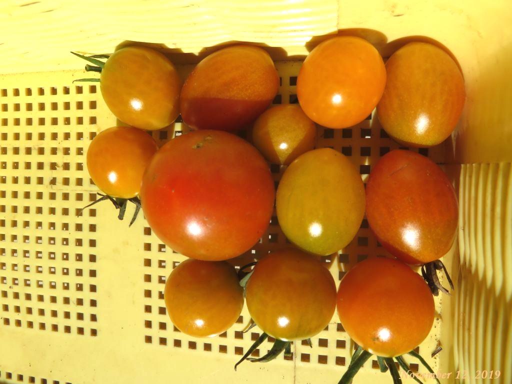 画像9(今年最後の収穫トマト)