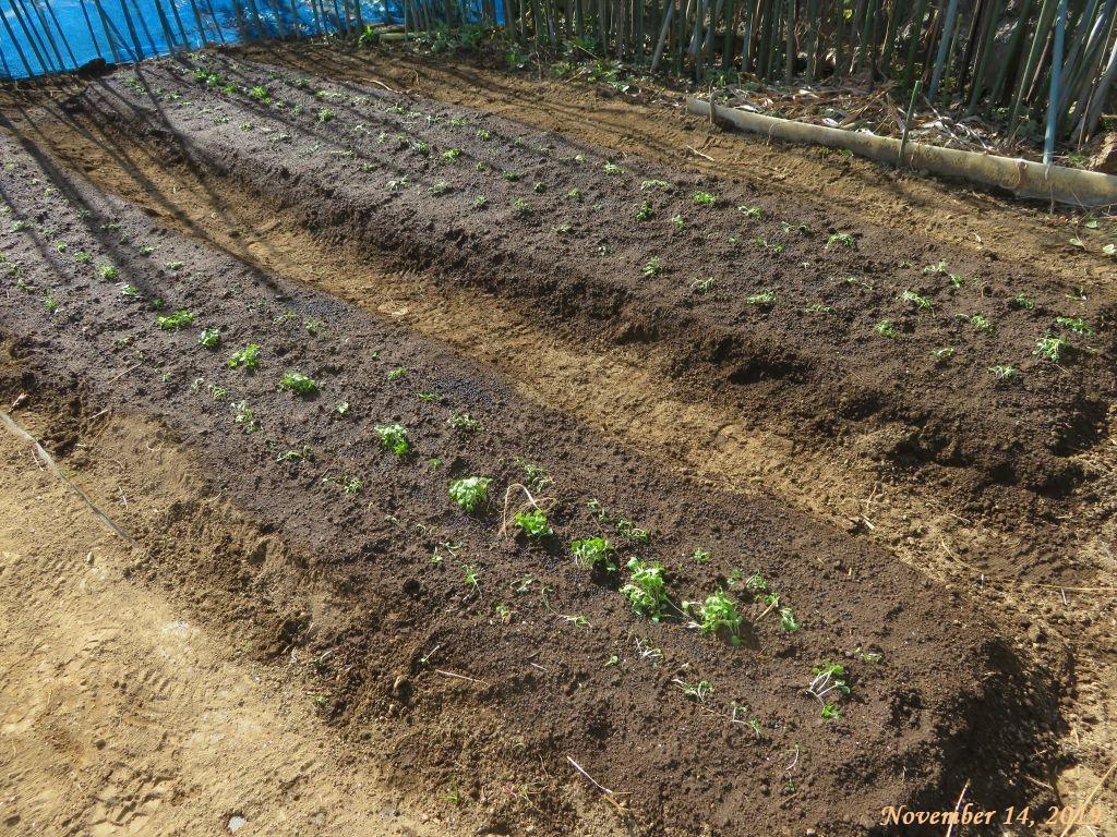 画像5(冬菜の植え付け)