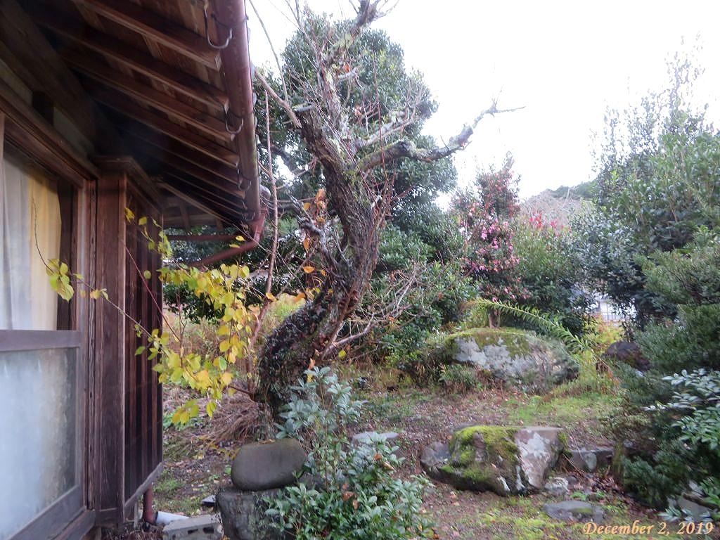 画像3(梅の古木)