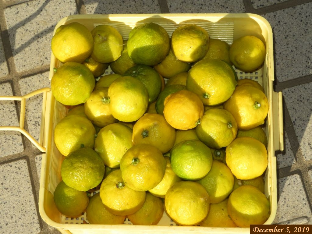 画像4(収穫した柚子)