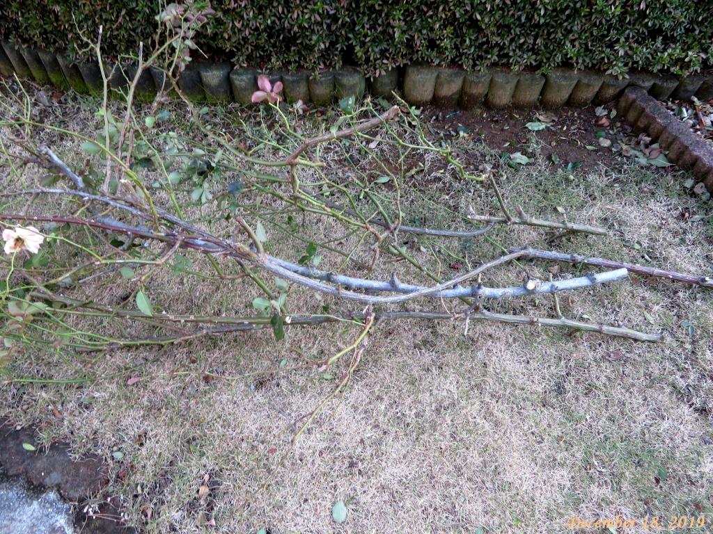 画像8(切り落としたバラの枝)