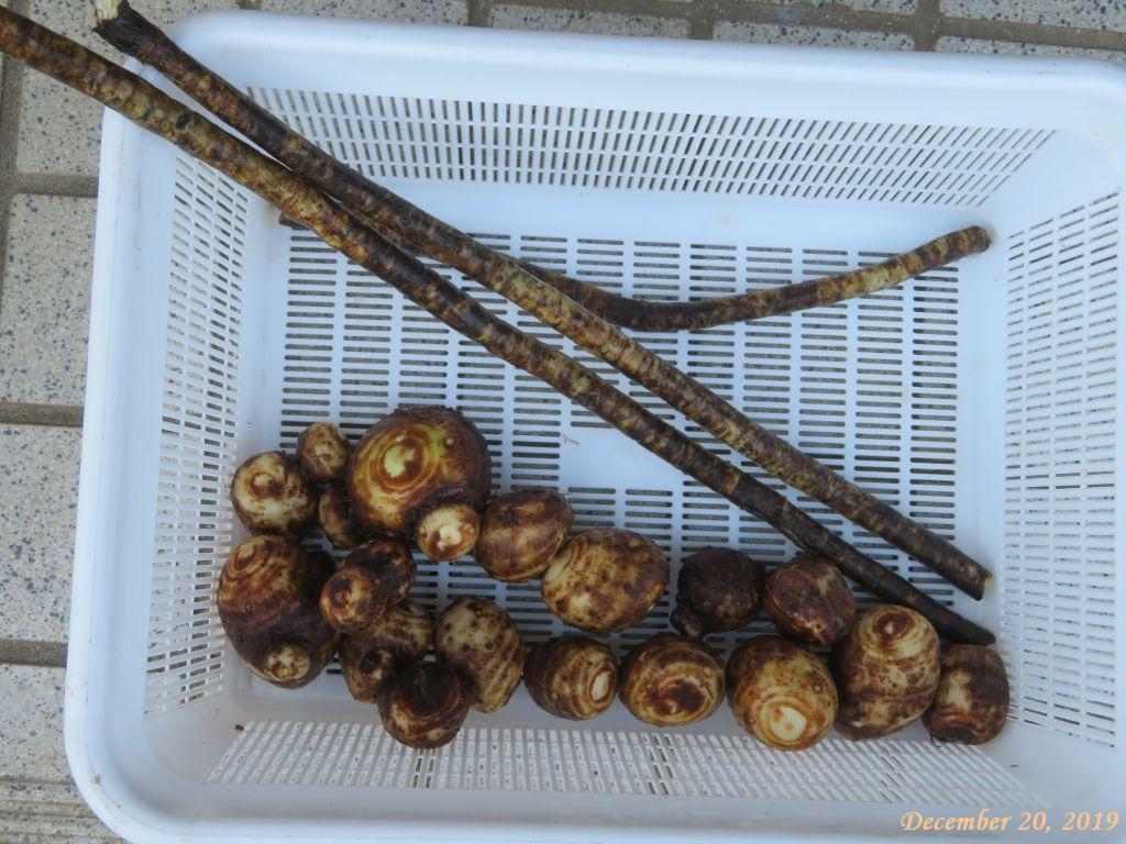 画像5(掘り出した里芋とゴボウ)