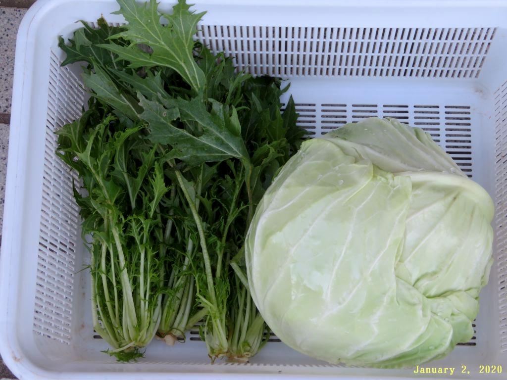 画像6(収穫したキャベツと水菜)