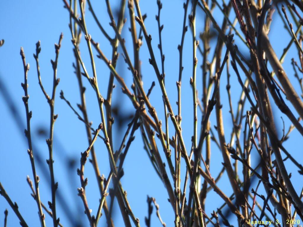 画像2(花桃の木)