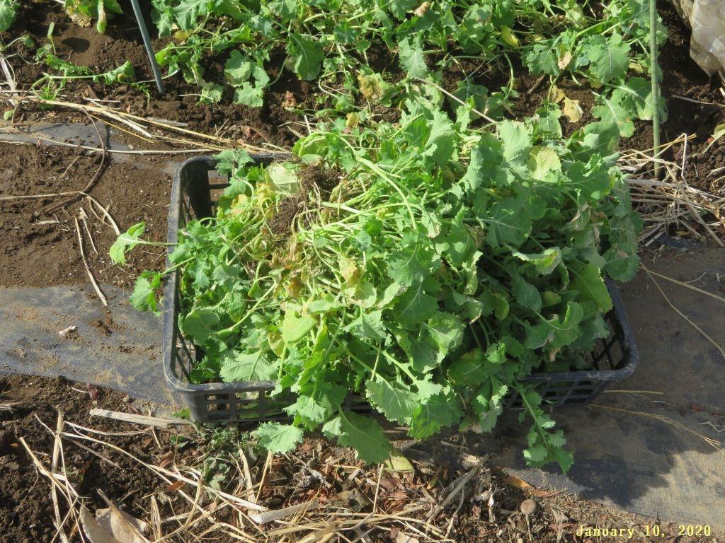 画像11(冬菜の間引き菜)