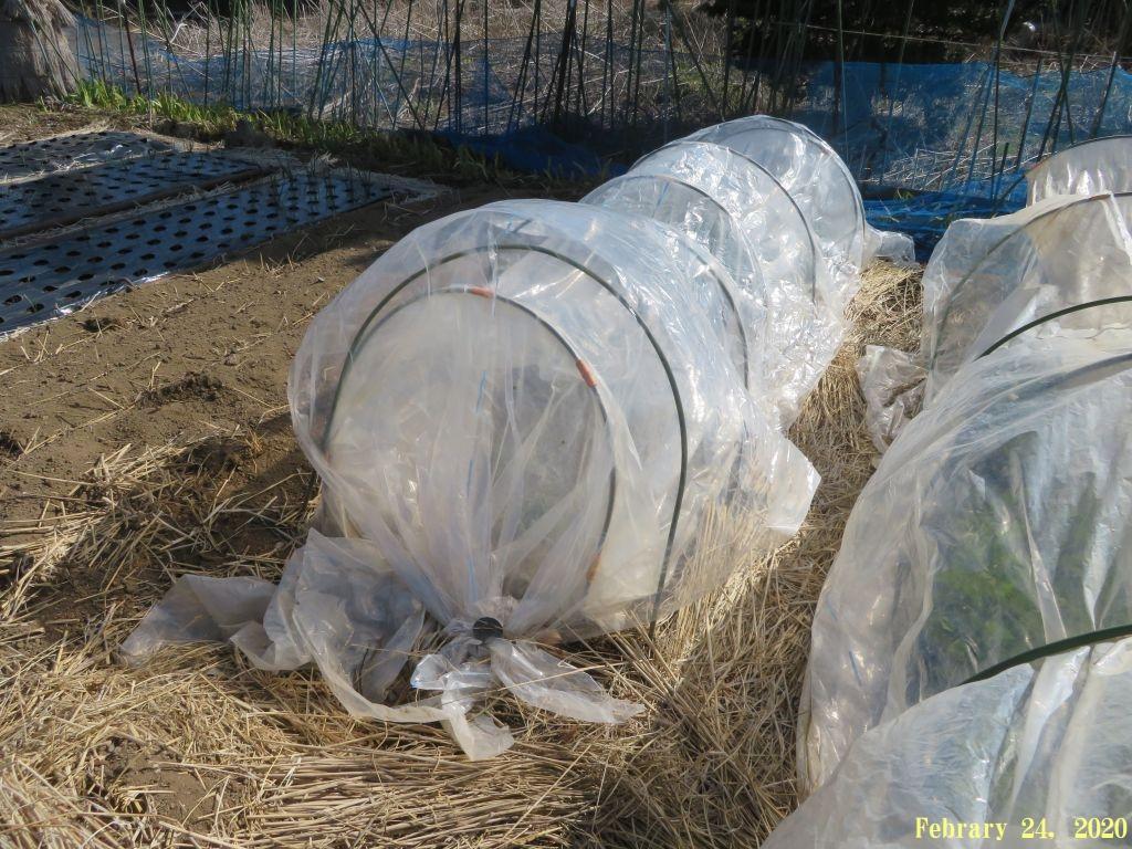 画像1(水菜のトンネル)