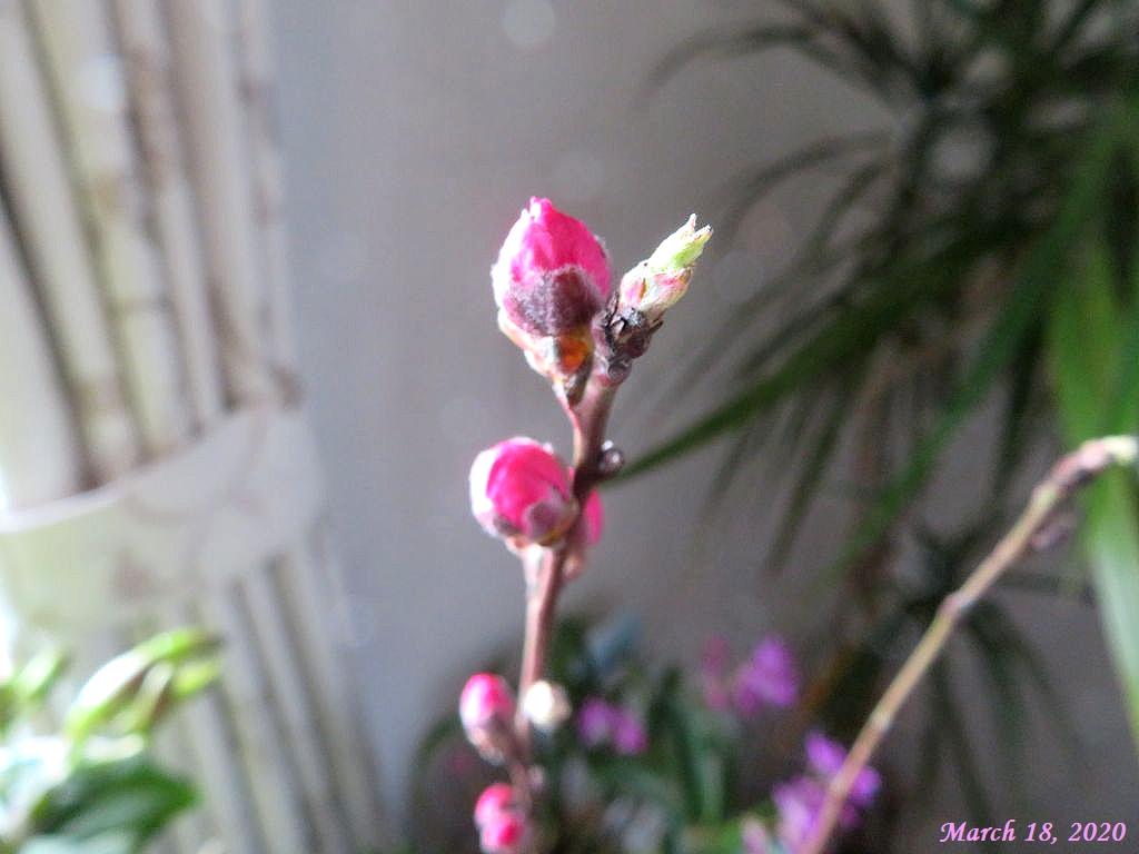 画像2(花桃の蕾)