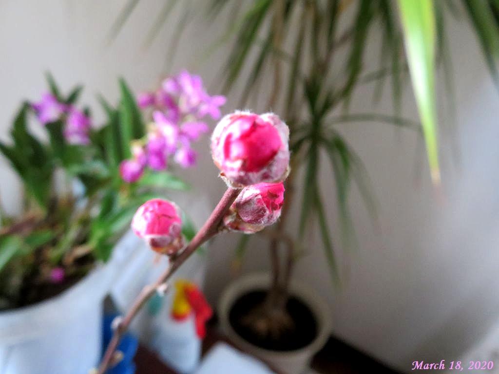 画像3(花桃の蕾)