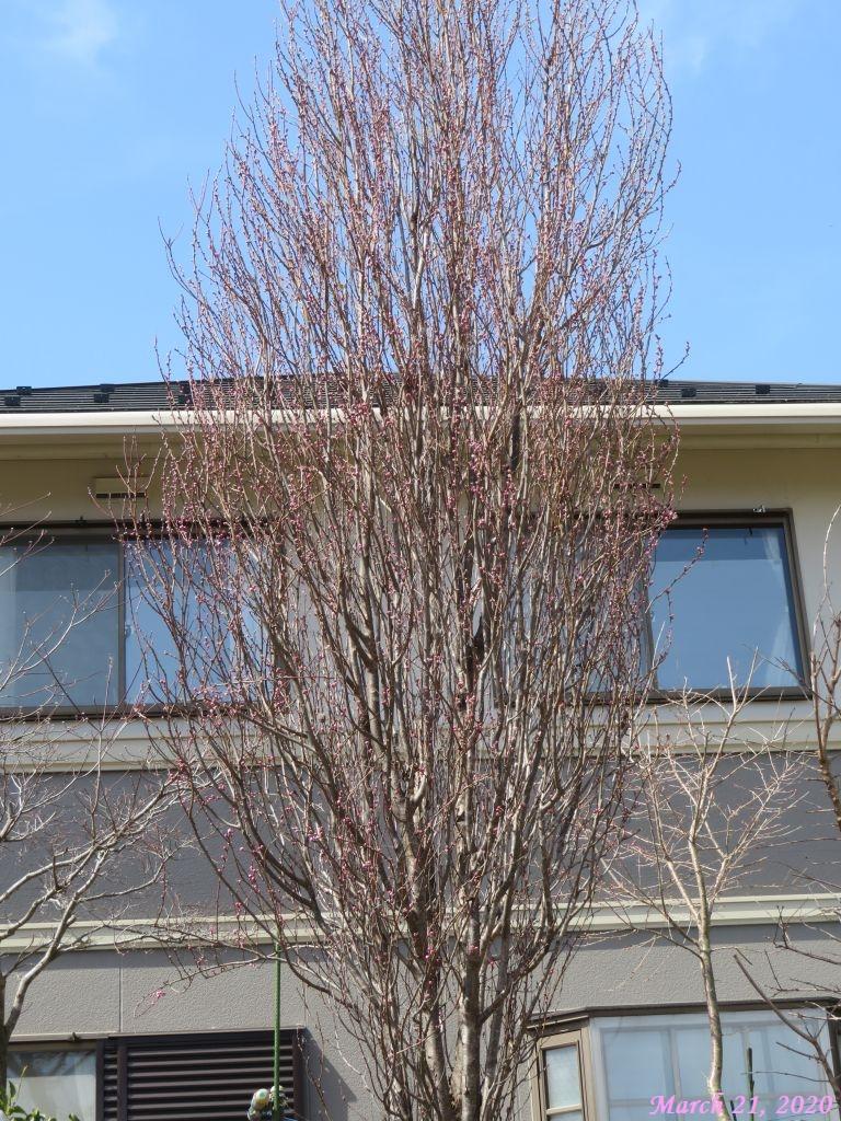 画像5(花桃の木)
