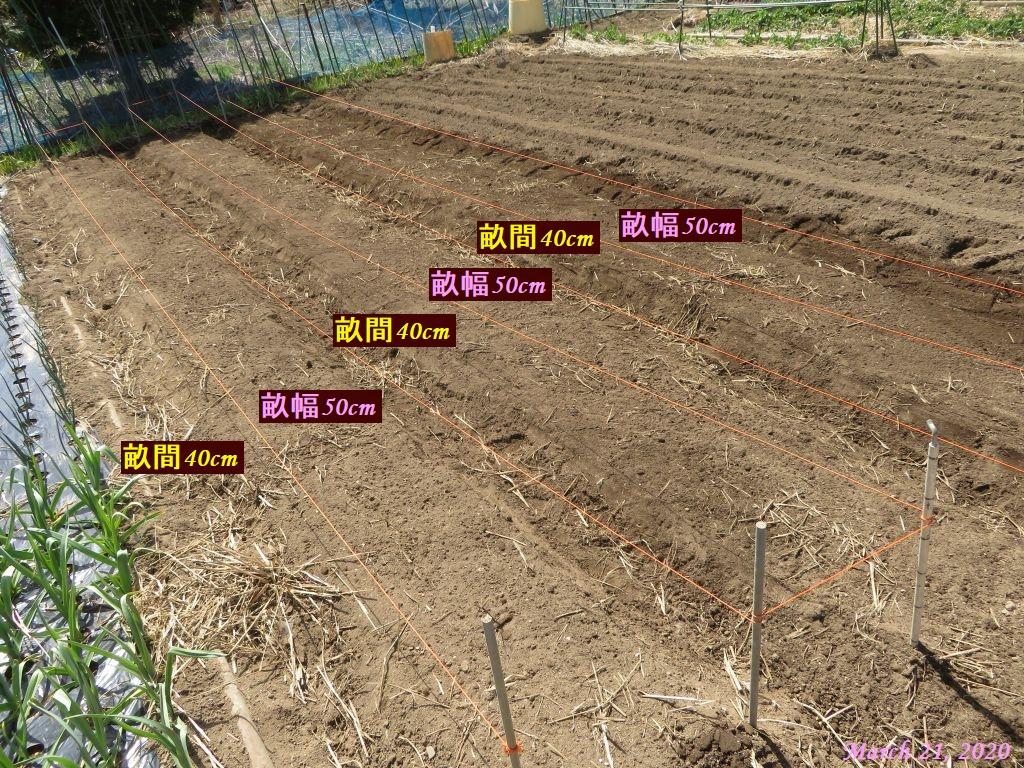 画像8(ジャガイモの畝作り)