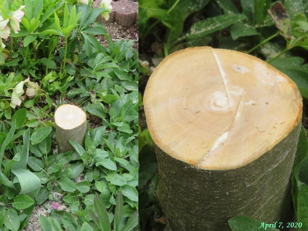 画像7(伐採したリンゴの木)