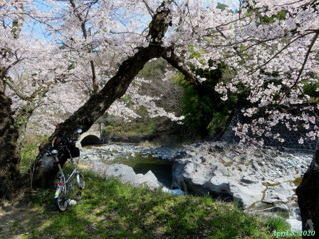 画像1(古渡の桜)