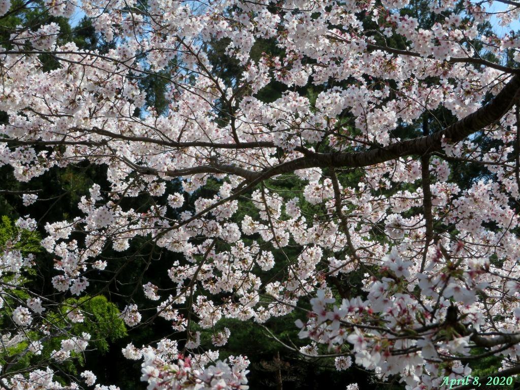 画像2(古渡の桜)
