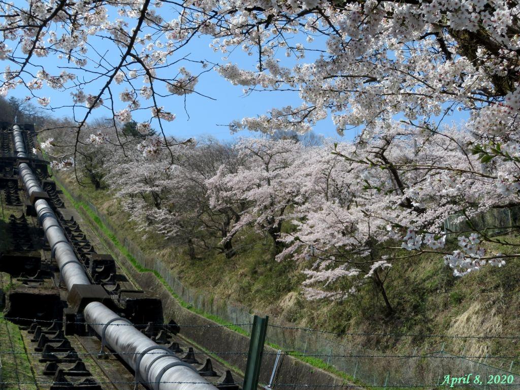 画像5(鹿留発電所のの桜)