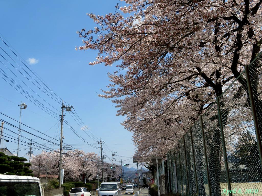 画像9(小学校の桜)