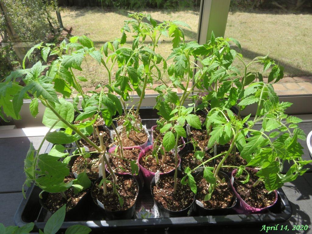 画像12(サンルームに置いたトマトの接ぎ木苗)