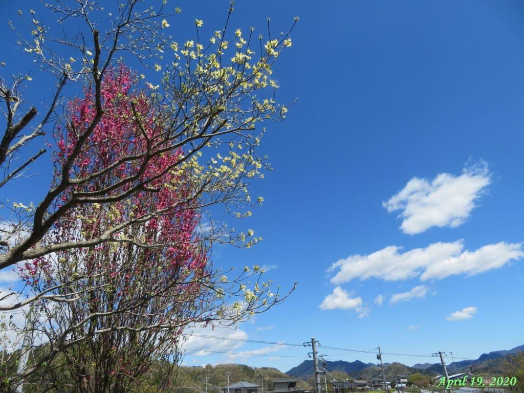 画像1(ハナミズキと花桃)