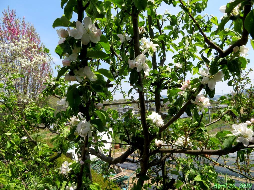 画像2(姫リンゴの花)