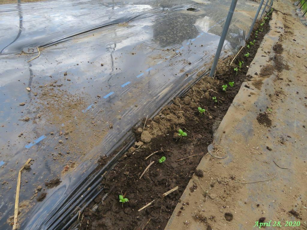 画像8(トマト畝周りにバジル定植)