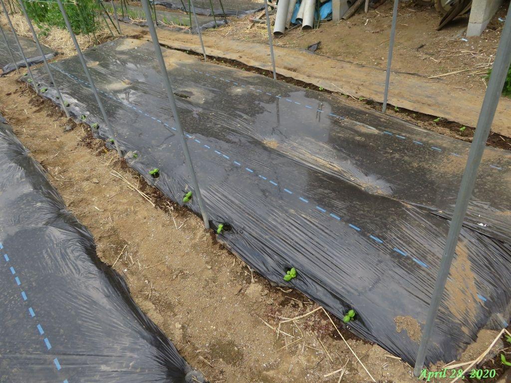 画像10(トマト畝周りにバジル定植)