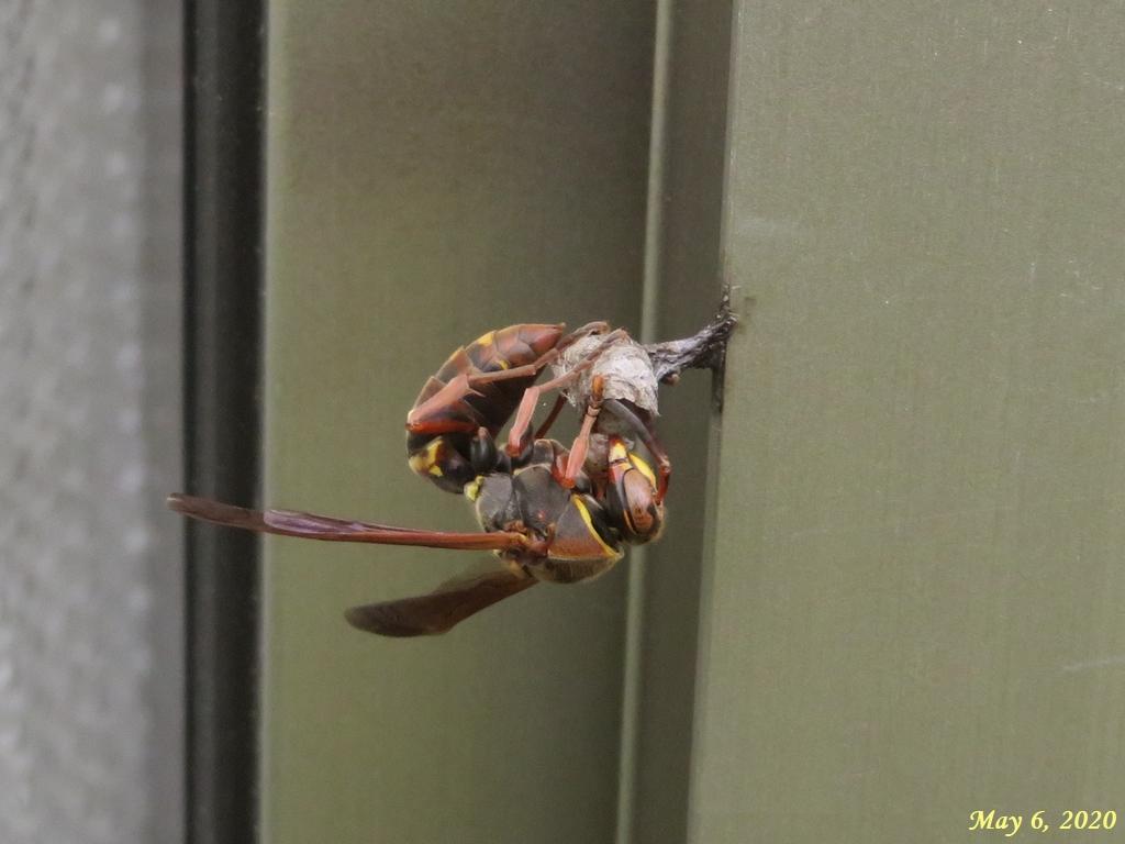 画像11(アシナガバチの巣作り)