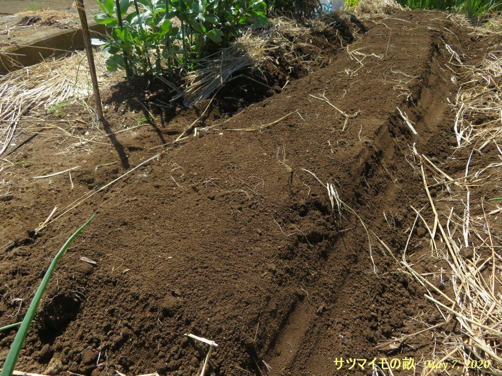 画像12(サツマイモの畝)