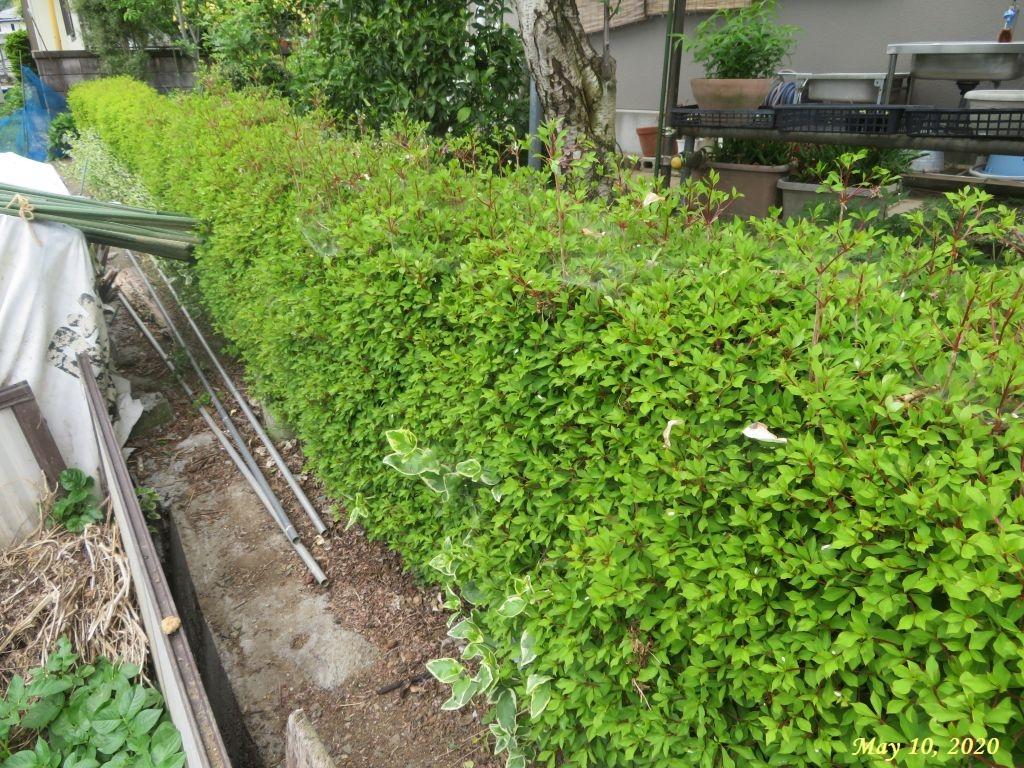 画像3(刈り込み前のドウダンの垣根)