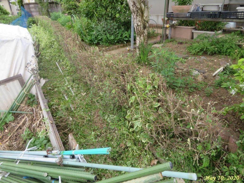 画像4(刈り込み後のドウダンの垣根)