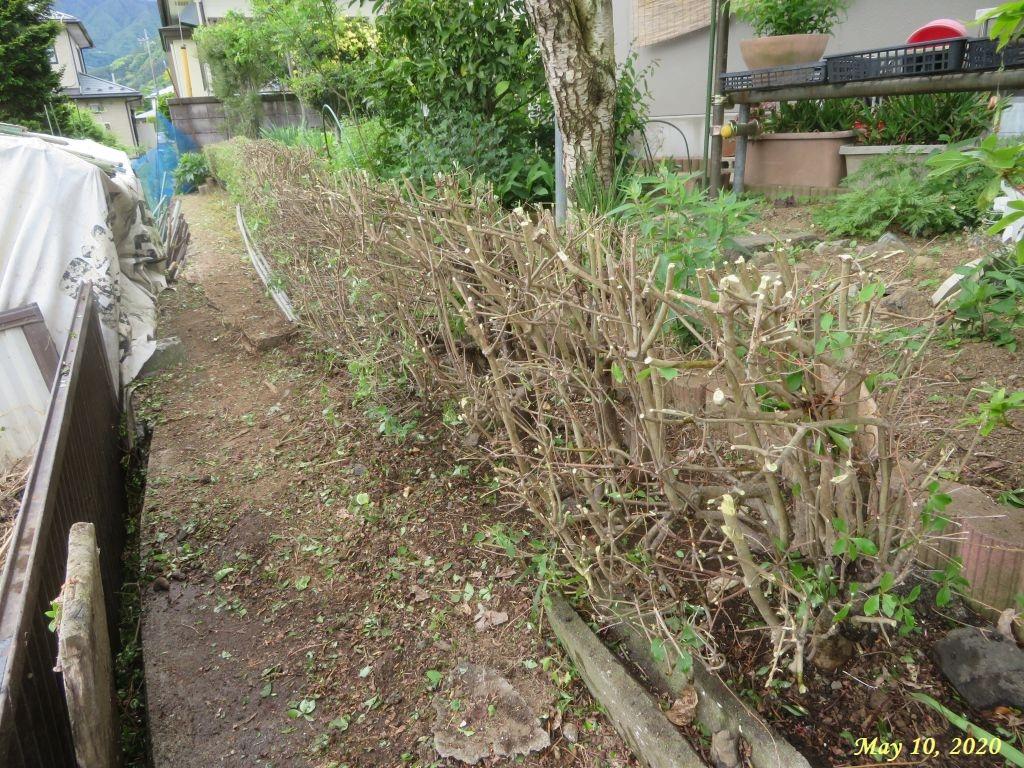画像5(刈り込み後のドウダンの垣根)