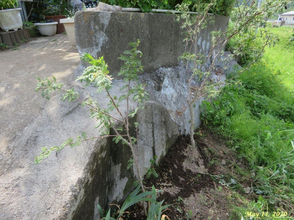 画像7(山椒の木)