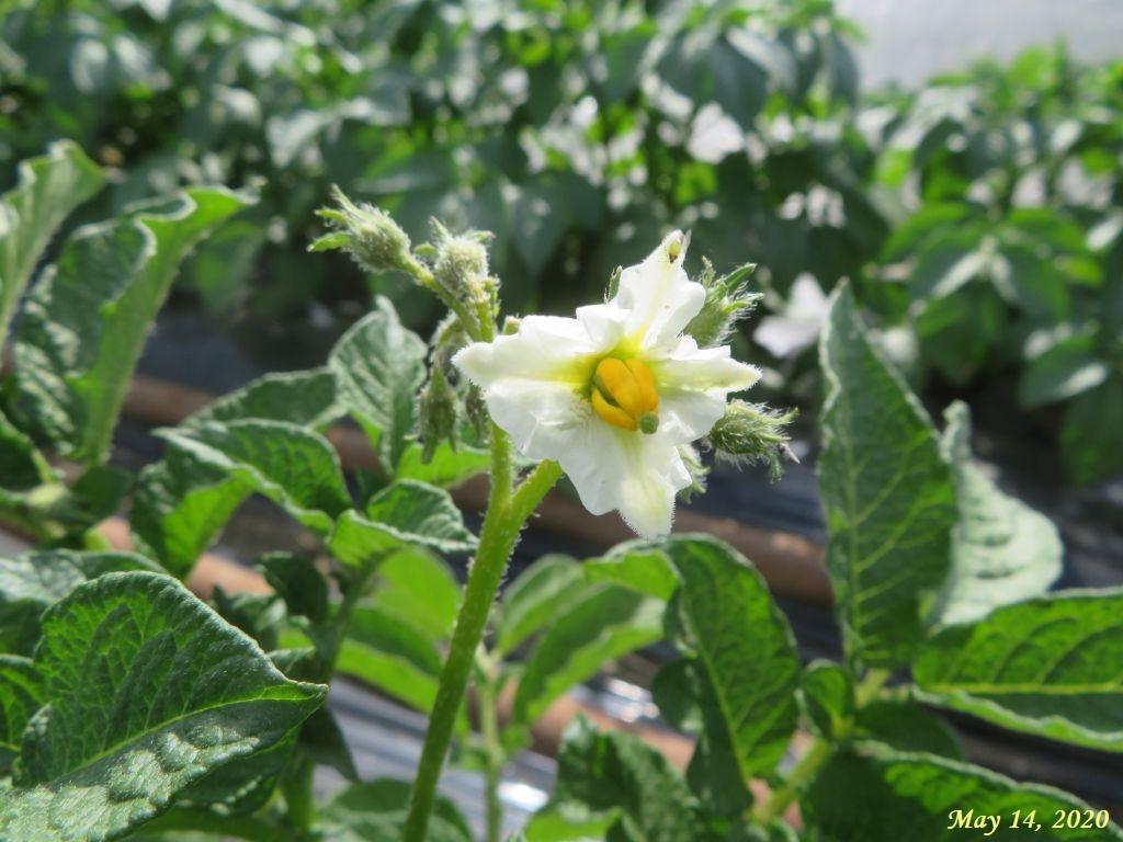 画像8(ジャガイモの花)