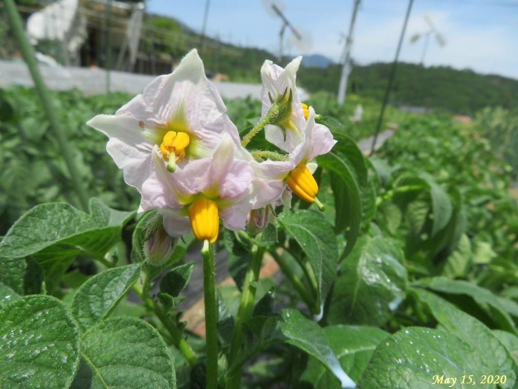 画像12(ジャガイモの花)