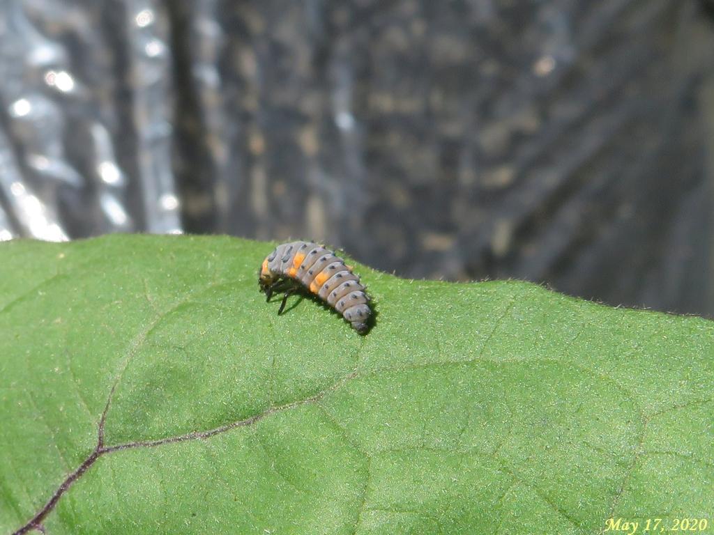 画像11(テントウムシの幼虫)