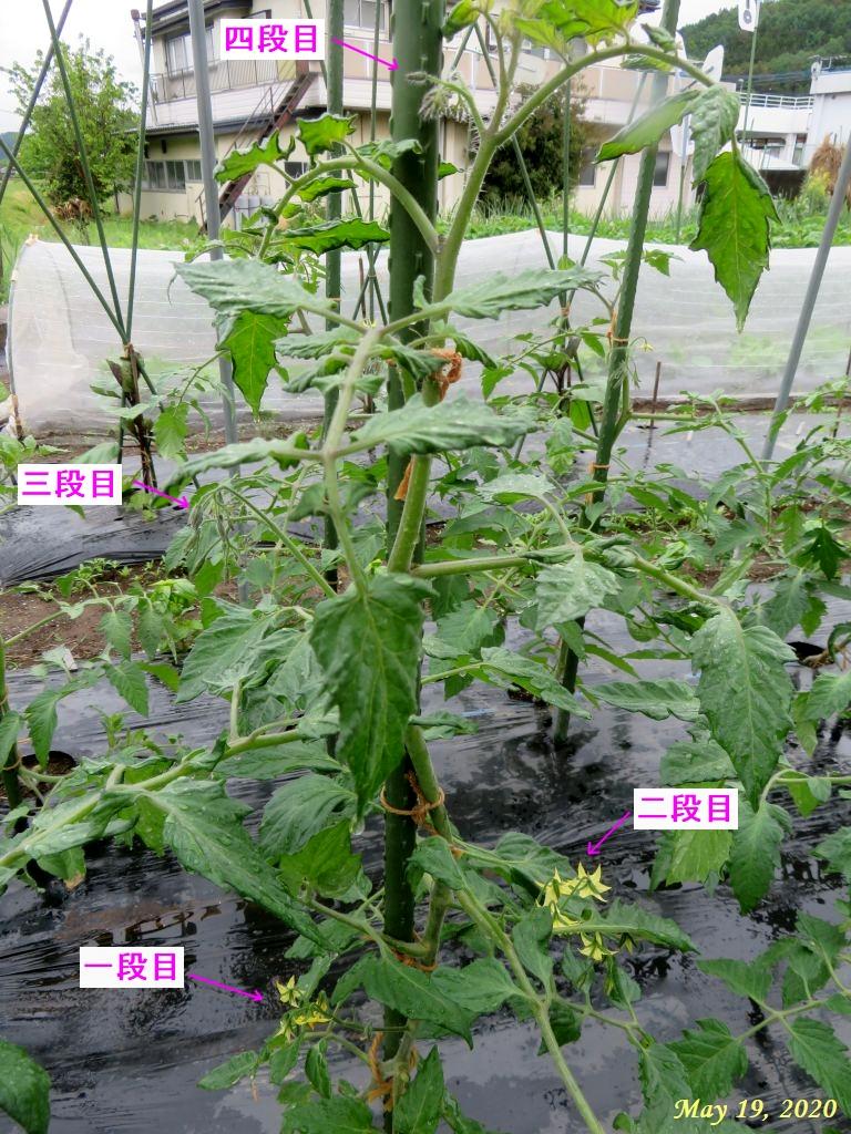 画像8(トマトの花)
