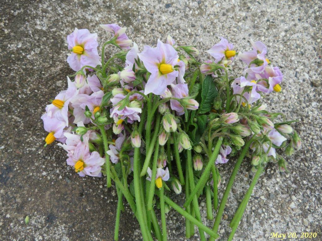 画像5(摘花したジャガイモの花)