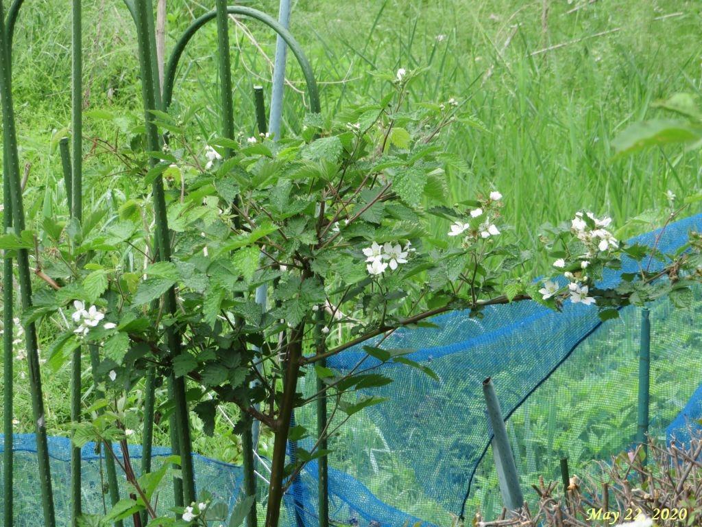 画像4(ブラックベリーの花)