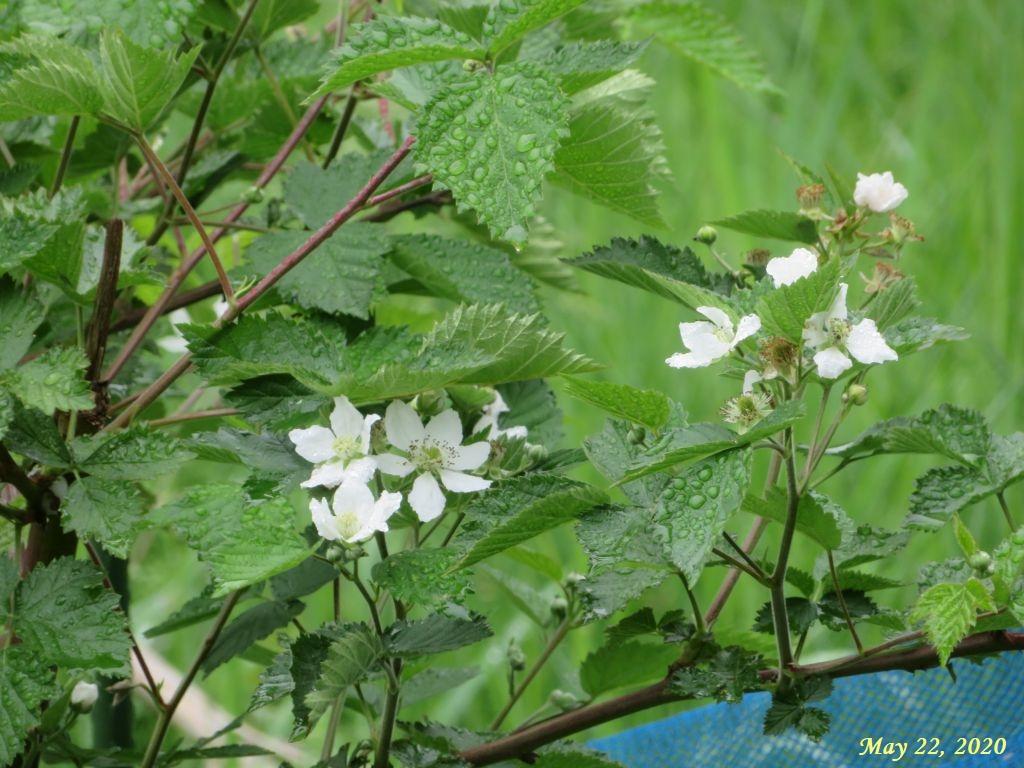 画像5(ブラックベリーの花)