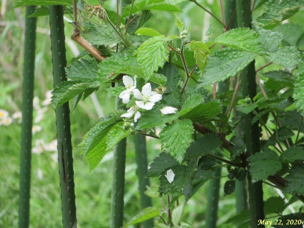 画像6(ブラックベリーの花)