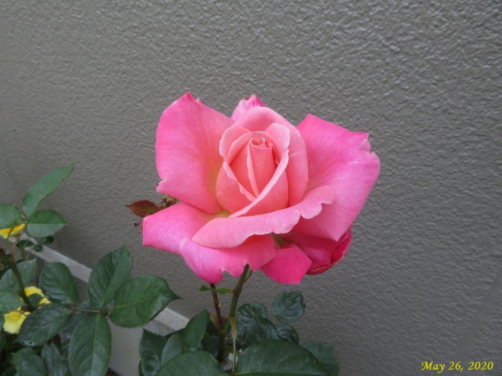 画像7(ピンクのバラ)
