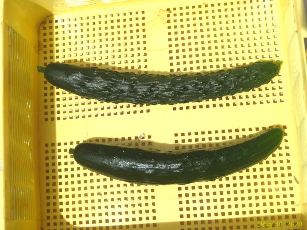 画像9(キュウリの初収穫)