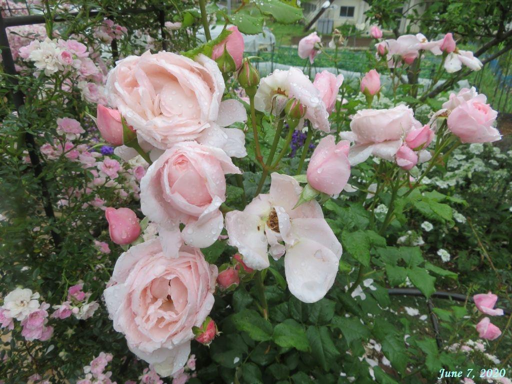 画像1(薔薇の花びら)