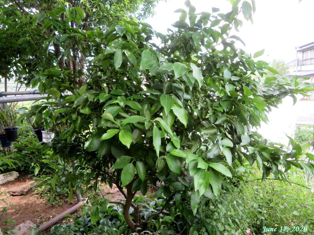 画像11(柚子の木)