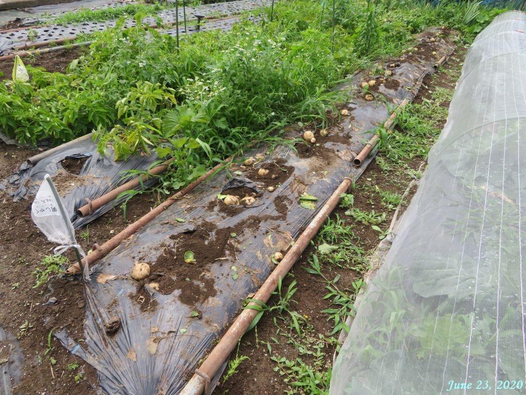 画像2(ジャガイモの茎を取る)