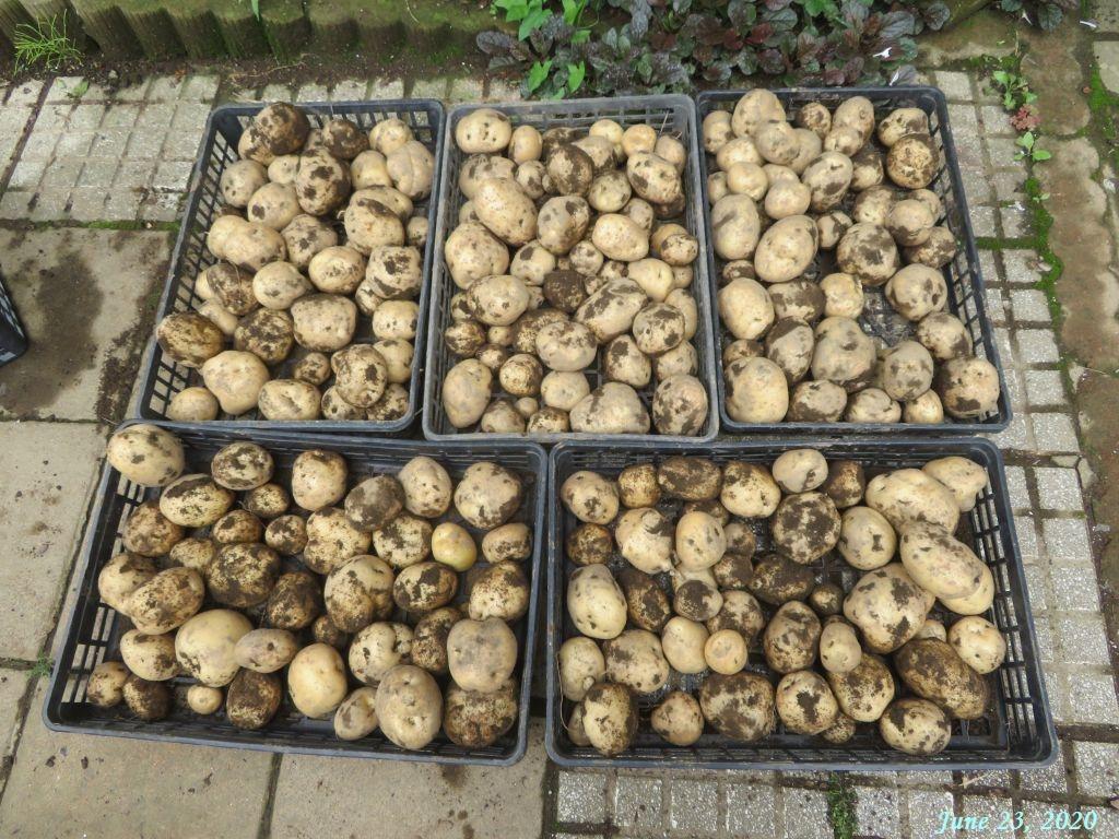 画像5(収穫したジャガイモ「ダンシャク」)