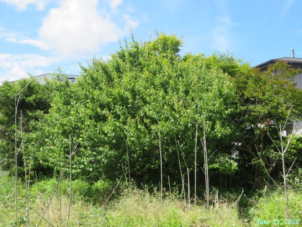 画像6(空き地の梅の木)